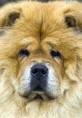 picture of chow-chow  - The Dog breed Chow - JPG