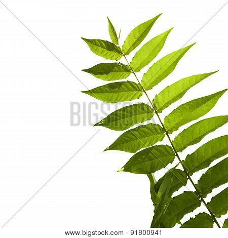 Green Odd Pinnate Leaf Of A Tropical Plant Isolated