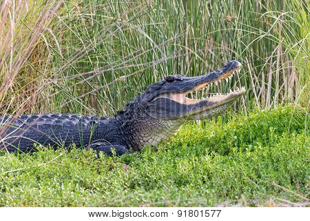 American Alligator Showing Its Teeth