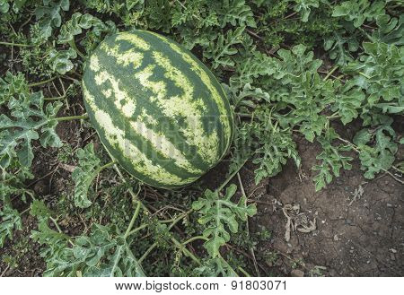 Watermelons On A Field
