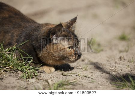 Cat Hunting Hiding In Grass Outdoors