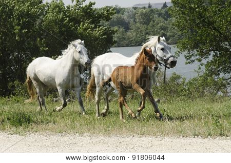 Galloping Horses Horses And Foal