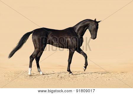 Black achal teke stallion