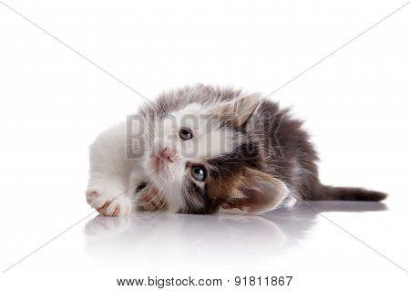 The Lovely Tabby Kitten Lies.