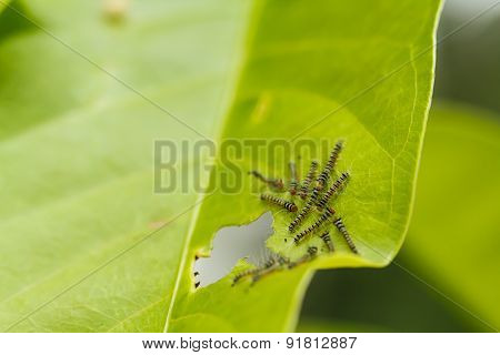 Caterpillars On Green Leaf