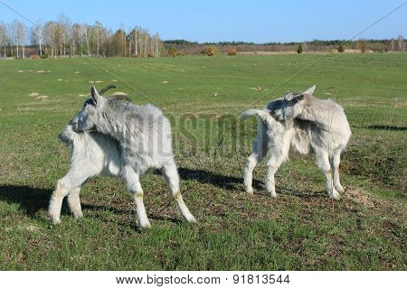 goats scratching themself simultaneously on the pasture