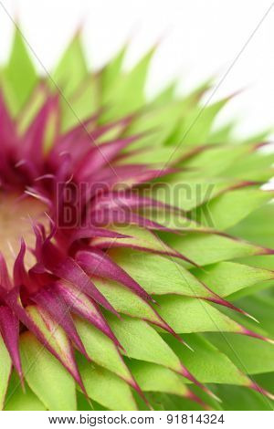 Milk thistle flower macro background