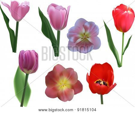 illustration with tulip flowers isolated on white background