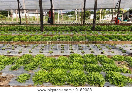 Organic salads in a tropical vegetable garden
