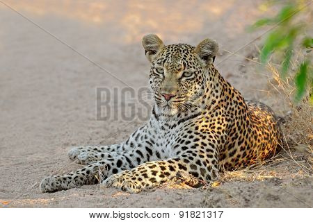 A female leopard (Panthera pardus) resting, Sabie-Sand nature reserve, South Africa