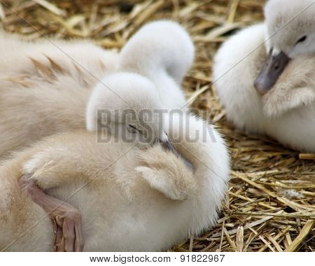 Adorable 5 day old baby Mute swans nestled together cozy and content