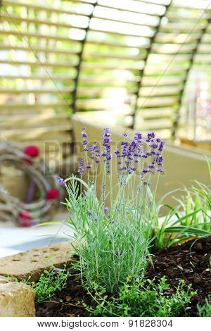 Detail of lavender plant in patio