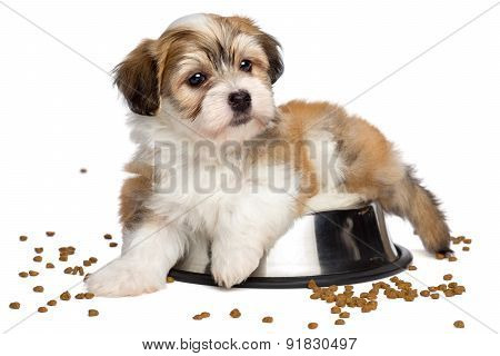 Cute Sated Havanese Puppy Dog Is Lying On A Metal Food Bowl