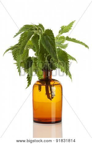 Urtica dioica, common nettle plant in apothecary bottle isolated on white background