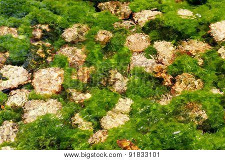 algae in the river