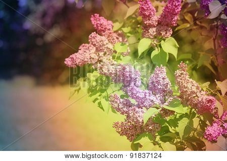Beautiful Spring Flowers Lilac