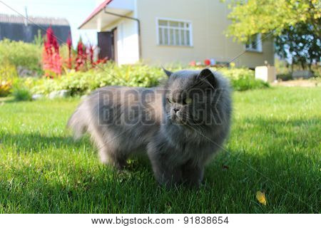 Persian Cat Going For A Walk On The Green Grass