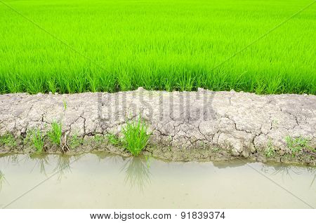 Paddy Rice Field In Water.