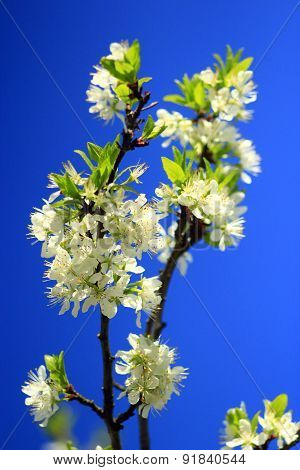 spring blossoming of tree of plum and blue sky