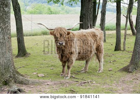 Outdoor portrait of a shaggy highland cattle looking at the viewer among spring trees and plowed farmland.