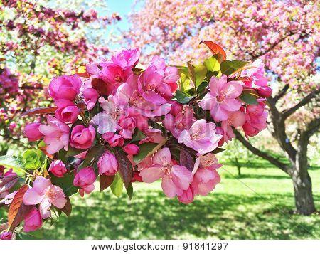 Pink Apple Tree Blossom