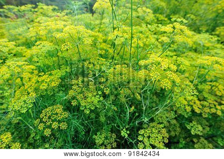 Fennel (Foeniculum vulgare) in growth at garden