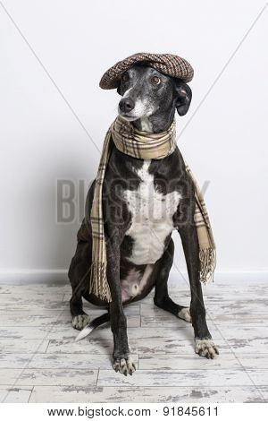 Lurcher dog wearing flat cap and scarf