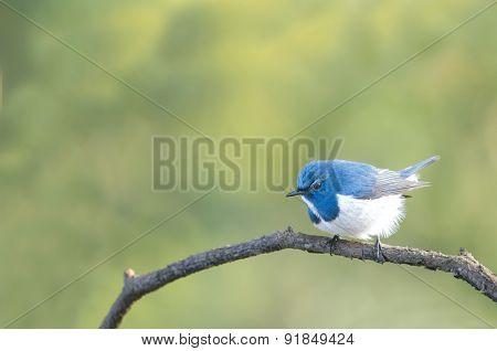 Ultramarine Flycatcher, Beautiful Blue Bird Perching On Branch