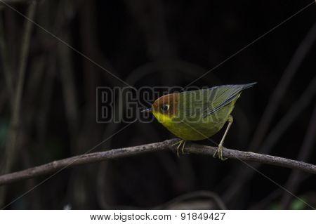 Bird (chestnut-headed Tesia) On The Best Perch ,chiangmai, Thail