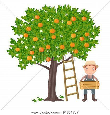Boy picking oranges