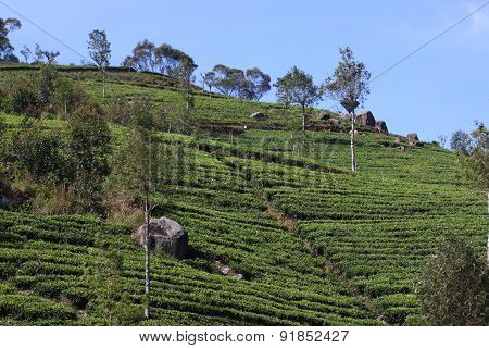 Sri Lanka, black tea plantation hill
