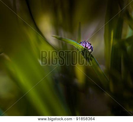 Jumping Spider (salticus Scenicus) Portrait