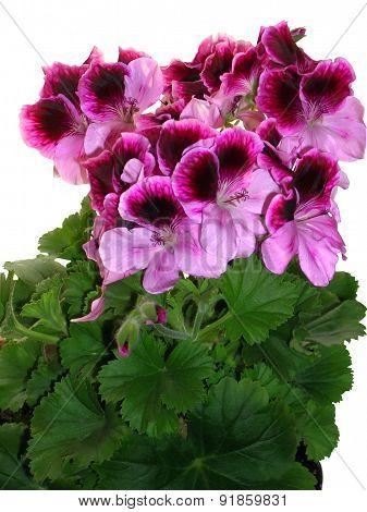 Pink-vinous geranium flowers on white background