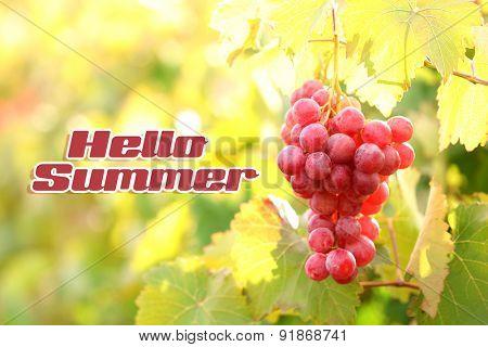 Hello summer concept. Bunches of ripe grape on plantation closeup