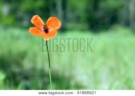 Poppy flower in forest, outdoors