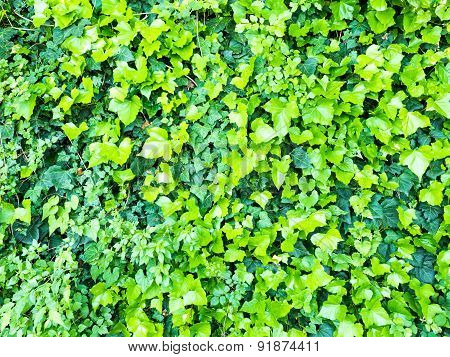 Background Of Green Leaves Of Ivy