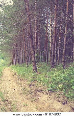 Vintage Pine Forest With Mud Road