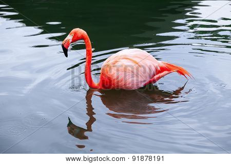 Pink Flamingo Walks In Water With Reflections