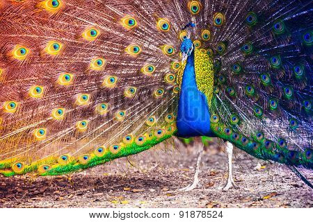 Peacock In A Tropical Forest With Feathers Out