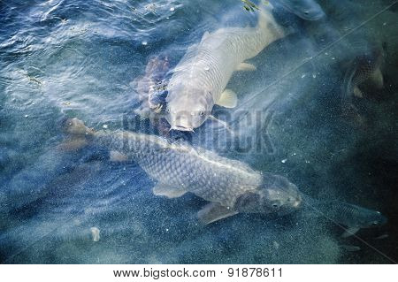 Group Of Big Carps Floats In Blue Water