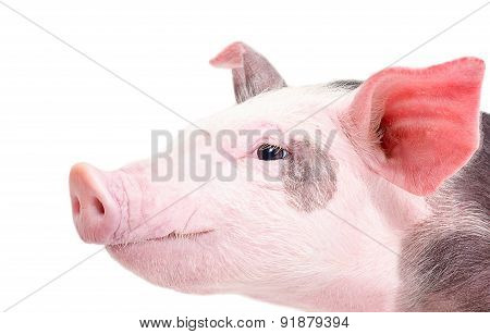 Portrait of a pig in a profile closeup
