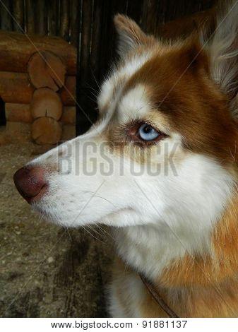 Husky sled dog