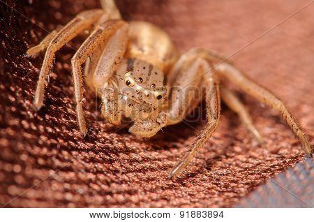 Brown Crab Spider
