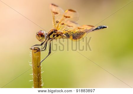 Dragon Fly On It's Perch With A Green Background