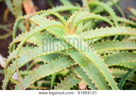 Aloe arborescens plant leaves