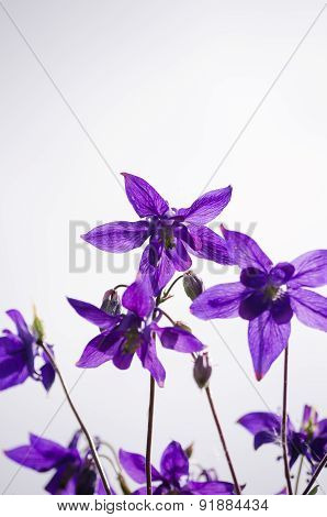 Aquilegia Vulgaris Columbine, Granny's Bonnet - View From Below With Negative Space Background
