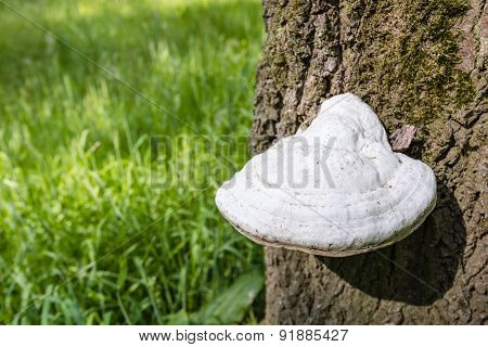 Bracket Fungus From Close