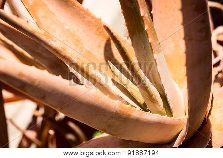 Aloe vera plant leaves