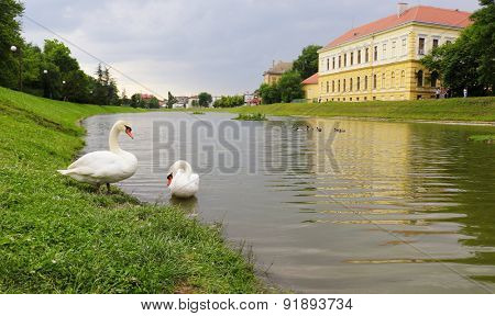 Swans on river