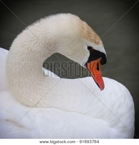 Close up portrait of a Swan